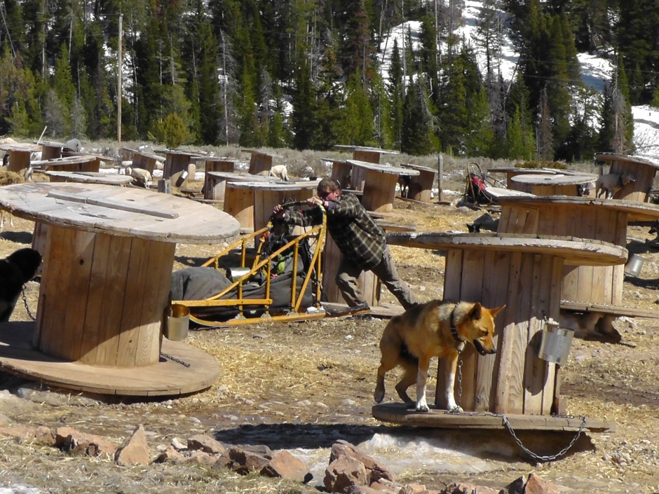 Sled dogs Iditarod & Yukon Quest #AnimalCruelty