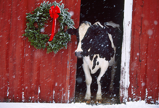 Beautiful Christmas cow Vegan