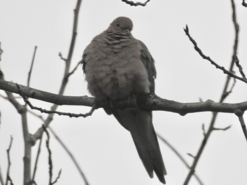 Mourning dove perched birch tree