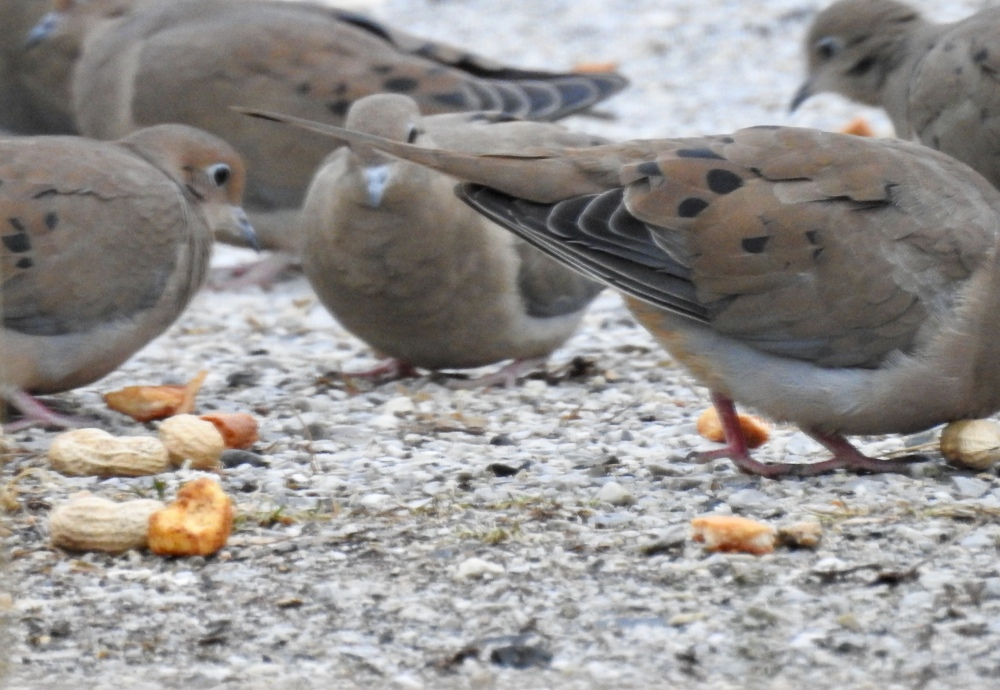 Mourning doves eating