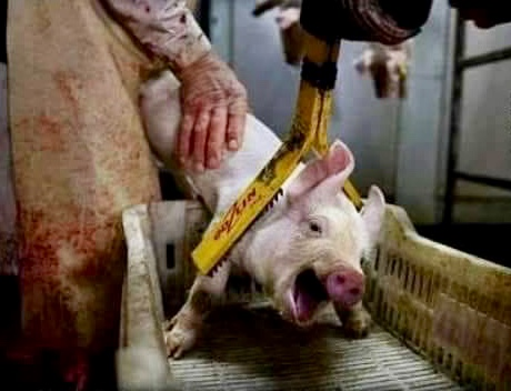 Factory farm horror go vegan dig Out Your Soul