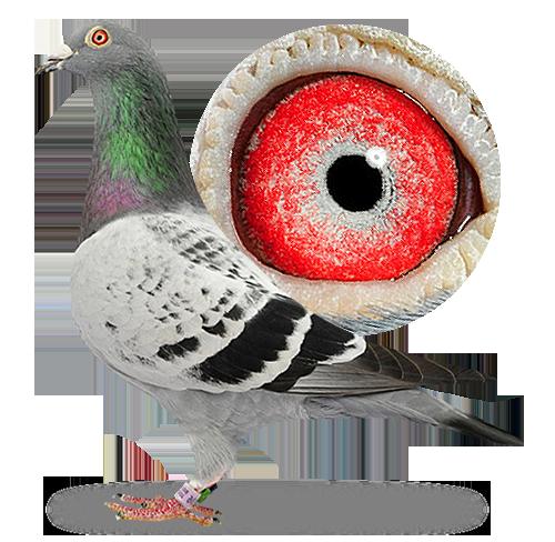 Pigeon eye color