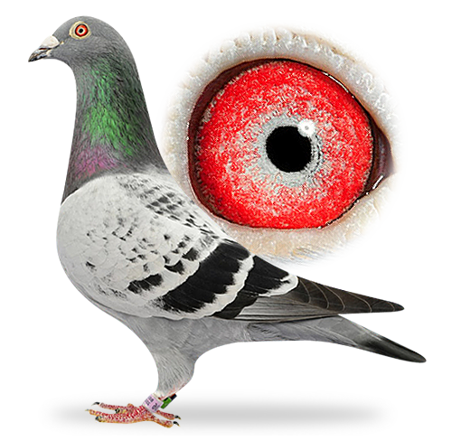 Pigeon eye color