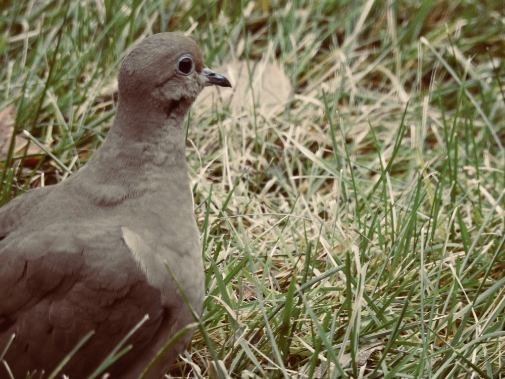 Beautiful Mourning dove