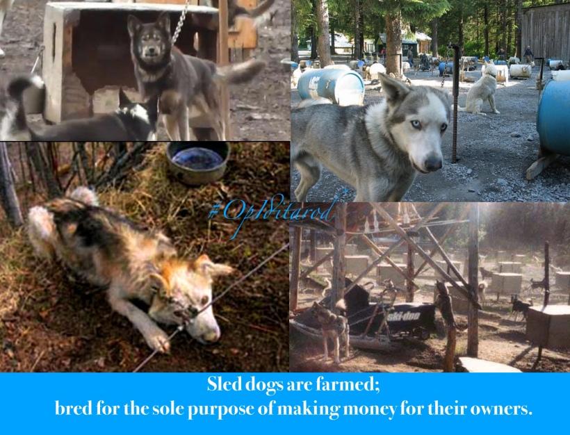Iditarod is cruelty