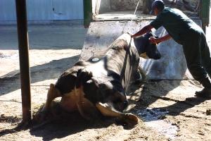 Dairy cruelty