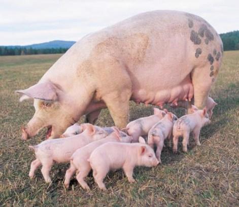 Piglets Around Mother