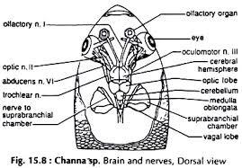 Fish brain