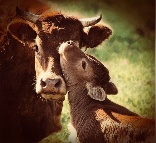 Beautiful mother cow and her baby