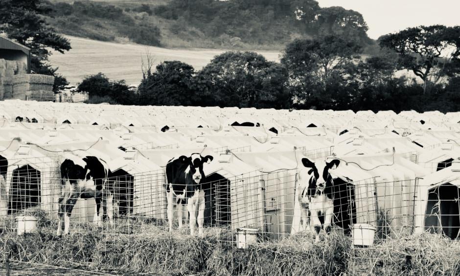Dairy industry murders baby cows