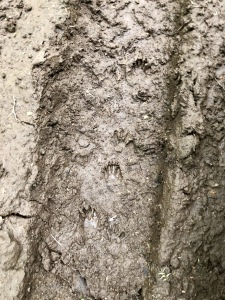 Vermont fisher cat footprints photography