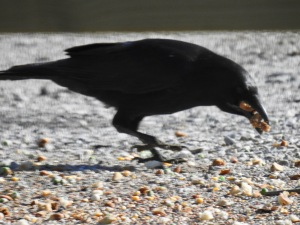 American crow Vermont photography