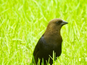 Brown-headed cowbird photography Vermont